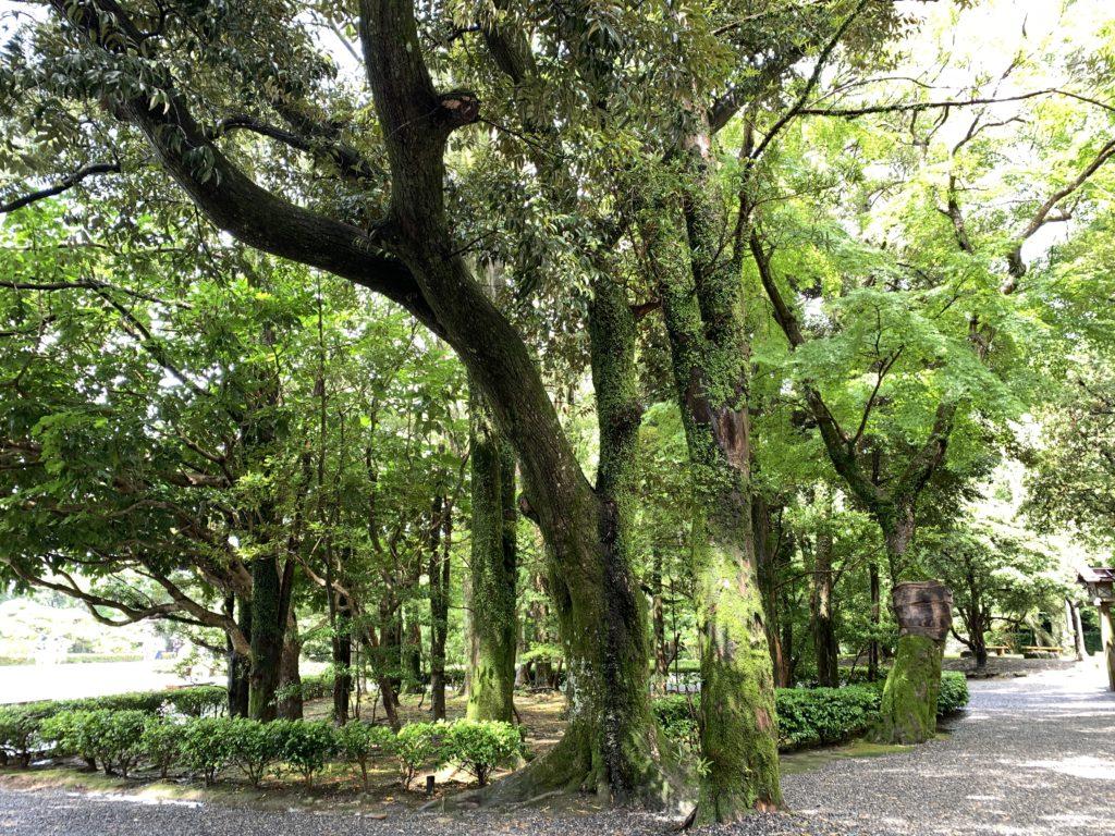 伊勢神宮の樹木